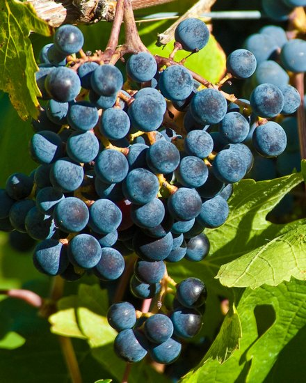 Blue Grapes.jpg